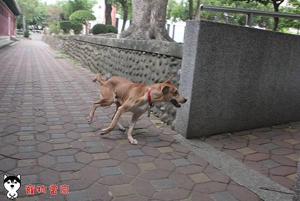 哈士奇居家生活-寵物當家-小摺在台南開心過生活 05