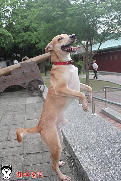 哈士奇居家生活-寵物當家-小摺在台南開心過生活 06