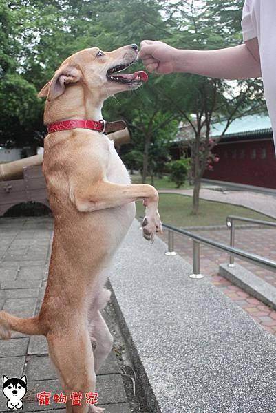 哈士奇居家生活-寵物當家-小摺在台南開心過生活 07