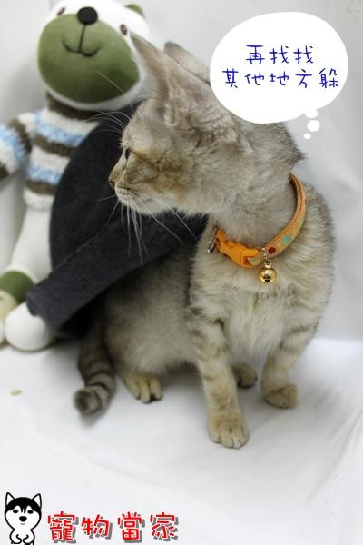 哈士奇居家清潔公司-寵物當家-小貓愛玩躲貓貓5.JPG