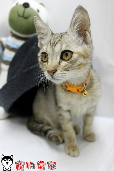 哈士奇居家清潔公司-寵物當家-小貓愛玩躲貓貓7.JPG