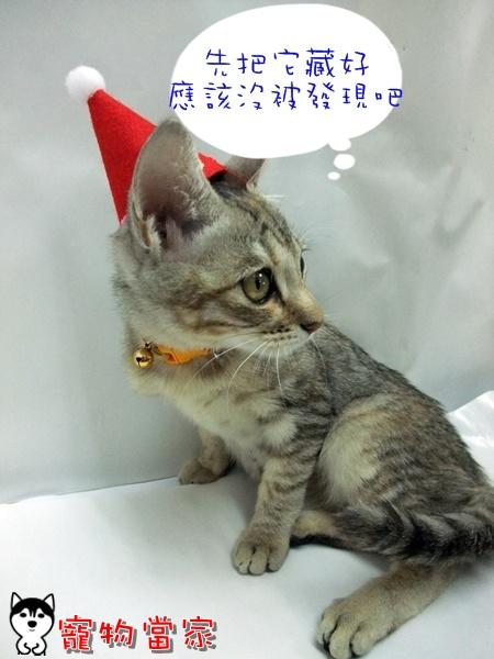 哈士奇居家清潔公司-寵物當家-聖誕貓4.JPG