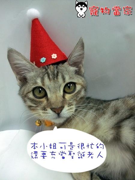 哈士奇居家清潔公司-寵物當家-聖誕貓2.JPG