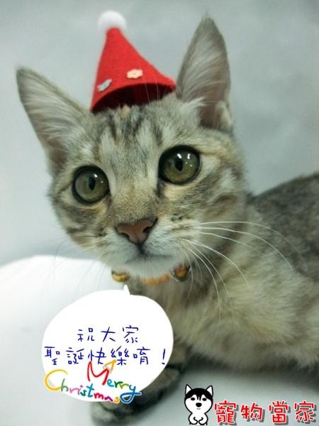 哈士奇居家清潔公司-寵物當家-聖誕貓6.JPG