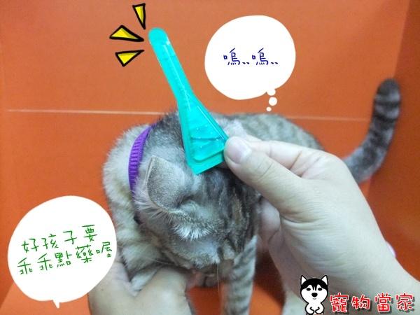 哈士奇居家清潔公司-寵物當家-Bunny除蚤大作戰2.JPG
