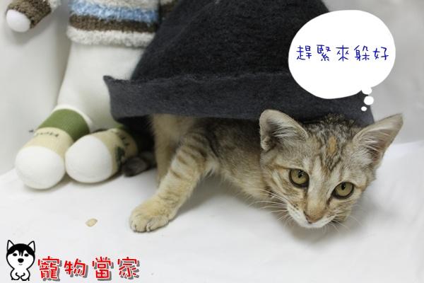 哈士奇居家清潔公司-寵物當家-小貓愛玩躲貓貓2.JPG