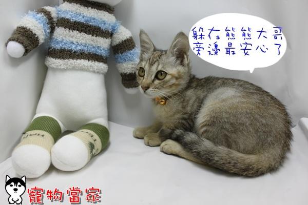 哈士奇居家清潔公司-寵物當家-小貓愛玩躲貓貓10.JPG
