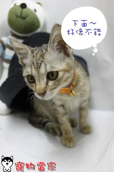 哈士奇居家清潔公司-寵物當家-小貓愛玩躲貓貓6.JPG