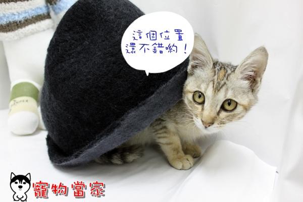 哈士奇居家清潔公司-寵物當家-小貓愛玩躲貓貓1.JPG