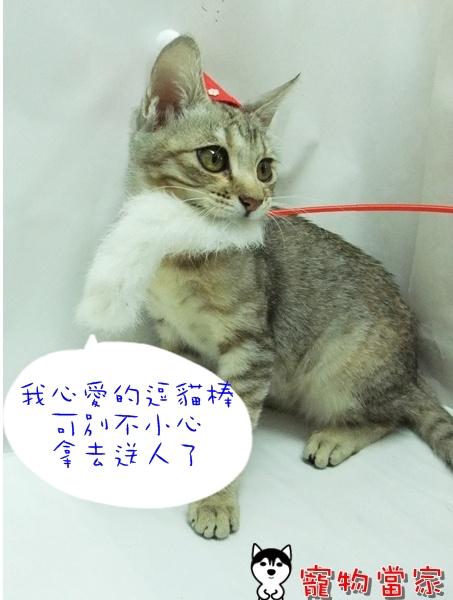 哈士奇居家清潔公司-寵物當家-聖誕貓3.JPG