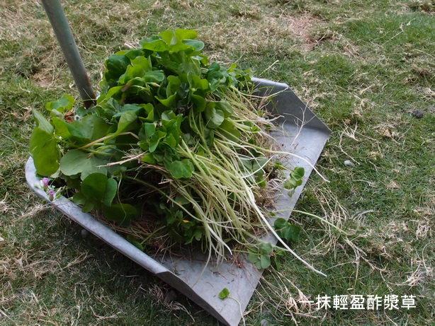 紫花酢漿草16_調整大小.JPG