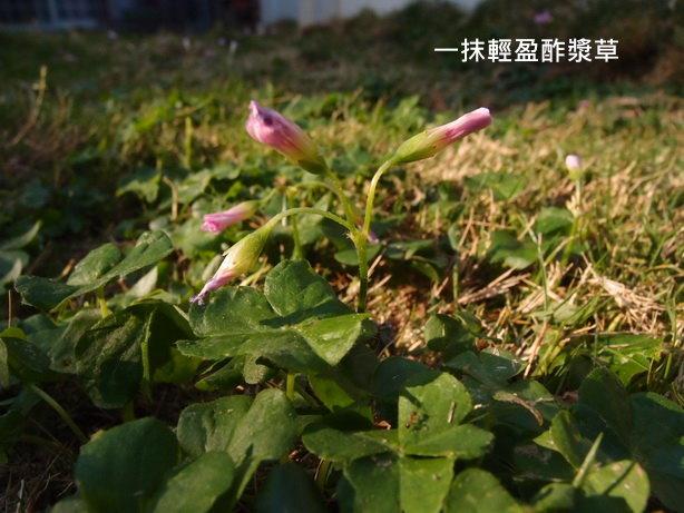 紫花酢漿草01_調整大小.JPG