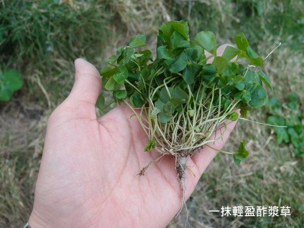 紫花酢漿草09_調整大小.JPG