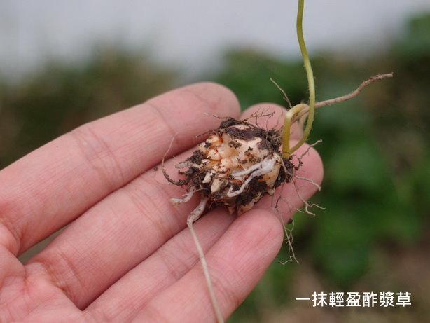 紫花酢漿草06_調整大小.JPG