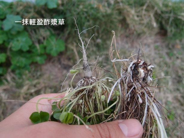 紫花酢漿草12_調整大小.JPG