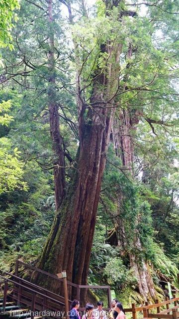 拉拉山神木