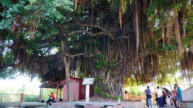 山腳社區百年榕樹
