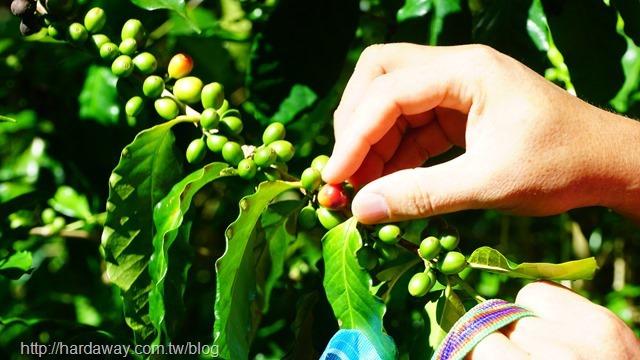 採咖啡豆農事體驗