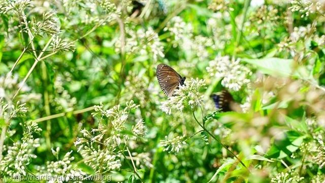 紫斑蝶在東河