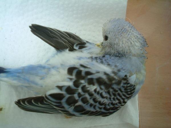 鸚鵡 108.jpg