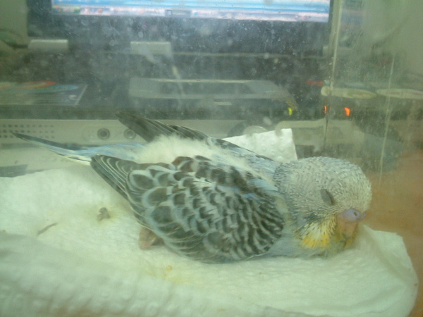 鸚鵡 114.jpg