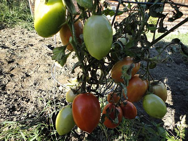 Roma tomatoes, not very juicy this year. But good to make fried green tomato!