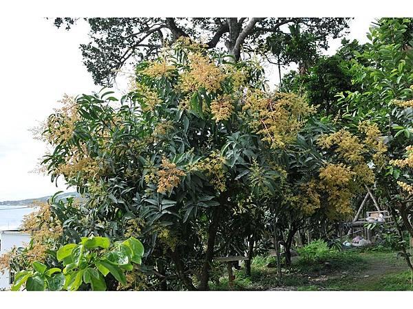 四季芒果開花