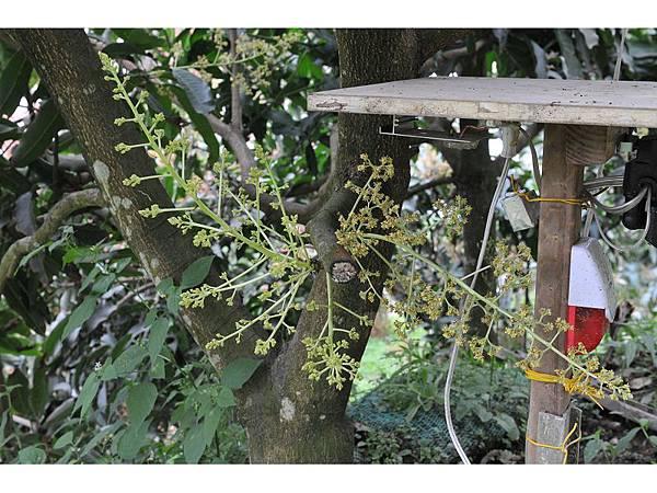 四季芒果樹幹開花