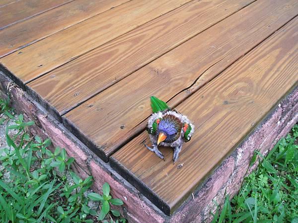 阿福..我家的鸚鵡