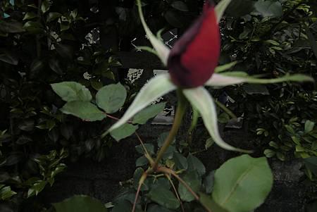 含苞待放的玫瑰神秘誘人