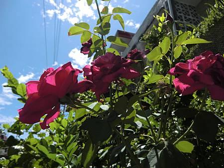 大門口圍牆邊的玫瑰花盛開著