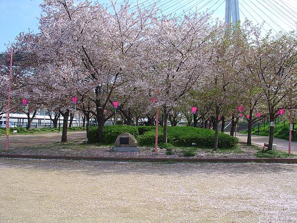 春天美麗的櫻花盛開著