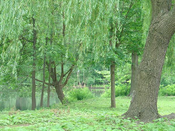河岸邊的垂柳綠地