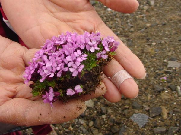 極地精美粉紅小花