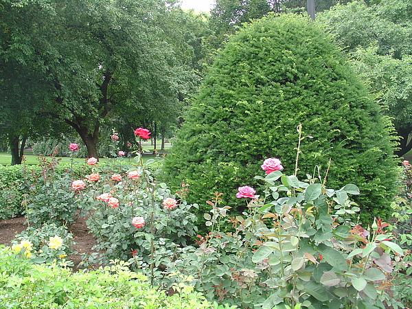 夏日玫瑰盛開