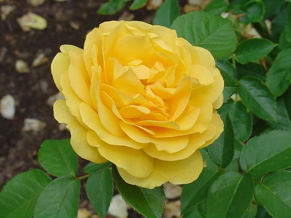 嫩嫩的鵝黃色玫瑰
