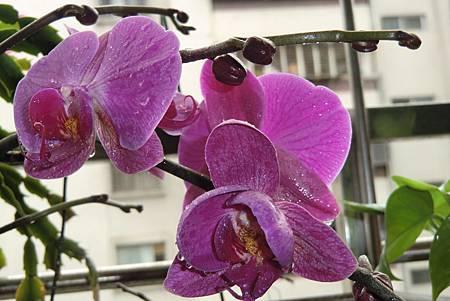 嬌豔迷人的蝴蝶蘭