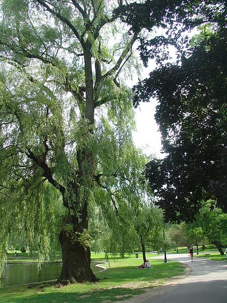 神木級的柳樹