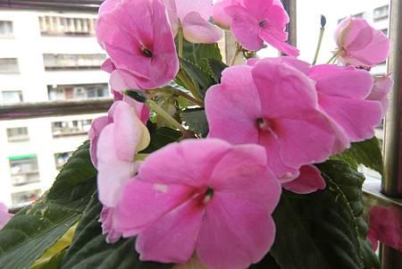 這一株盛開的花躲可媲美繡球花