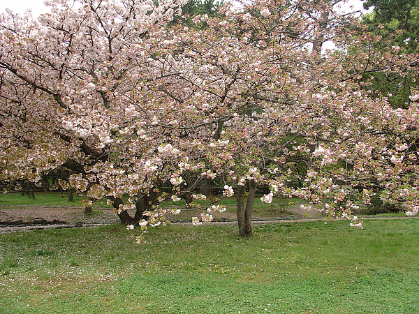 遇到櫻花滿開令人舒暢不已