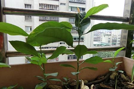 溫馨的檸檬樹