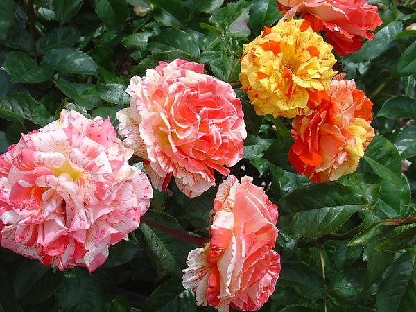 欣欣向榮的玫瑰花