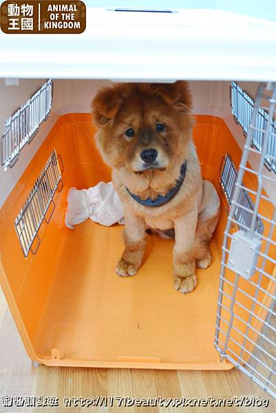 寵物訓練班-鬆獅犬