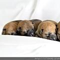 動物王國寵物家族-柴犬