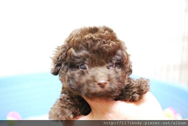 巧克力貴賓幼犬
