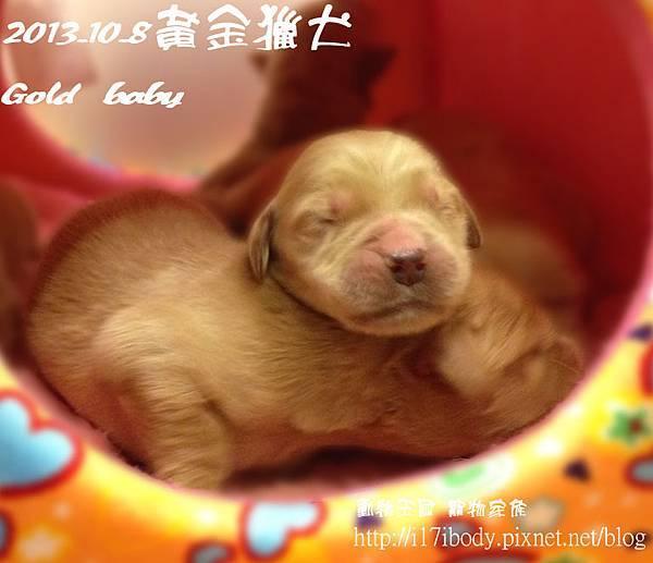 黃金獵犬:gold baby日記 10/8