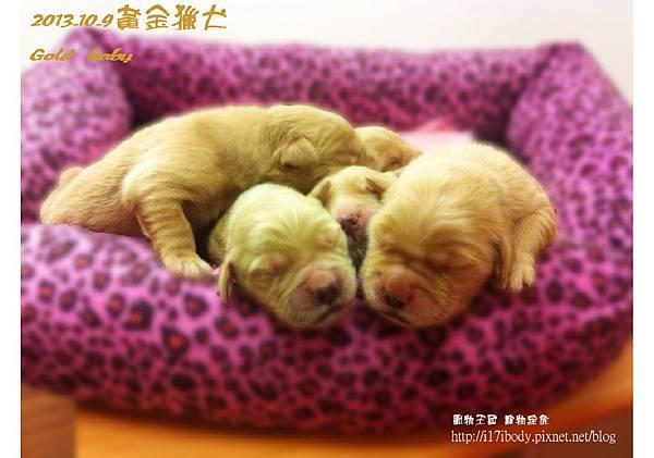 黃金獵犬:gold baby日記 10/9
