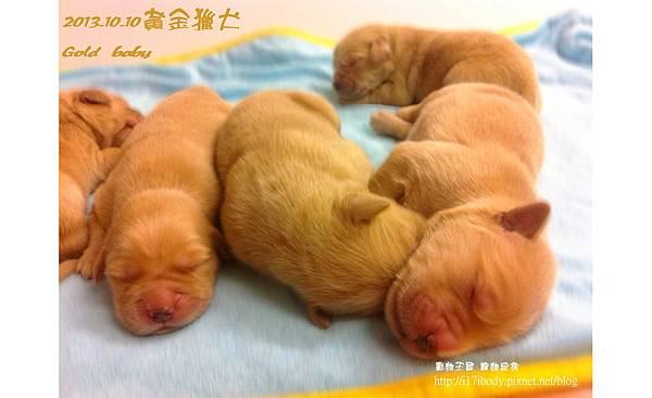 黃金獵犬:gold baby日記 10/10