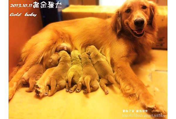 黃金獵犬@動物王國1011