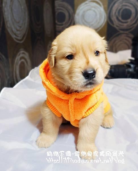 黃金獵犬@動物王國
